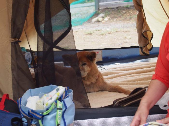 犬山キャンプ場 テントでウトウトするラン