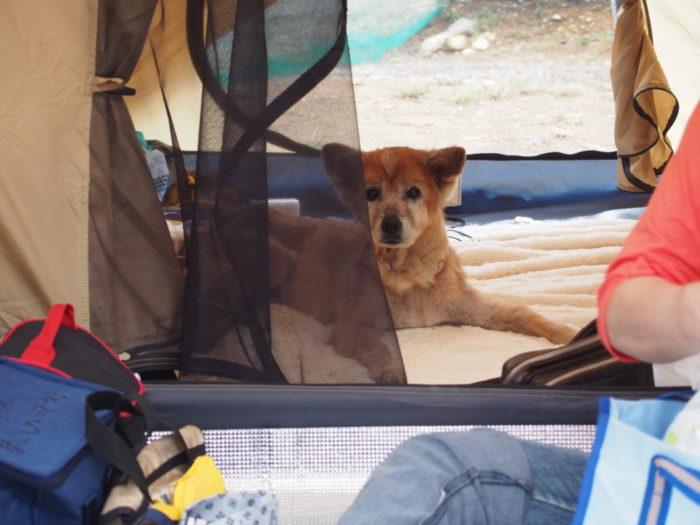 犬山キャンプ場 テントからこっちを見るラン