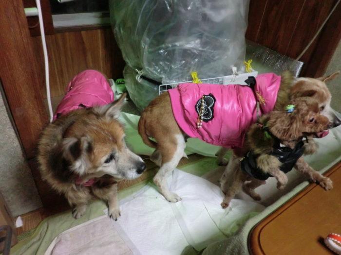 20130112じゃのひれ 出発前夜のお犬様