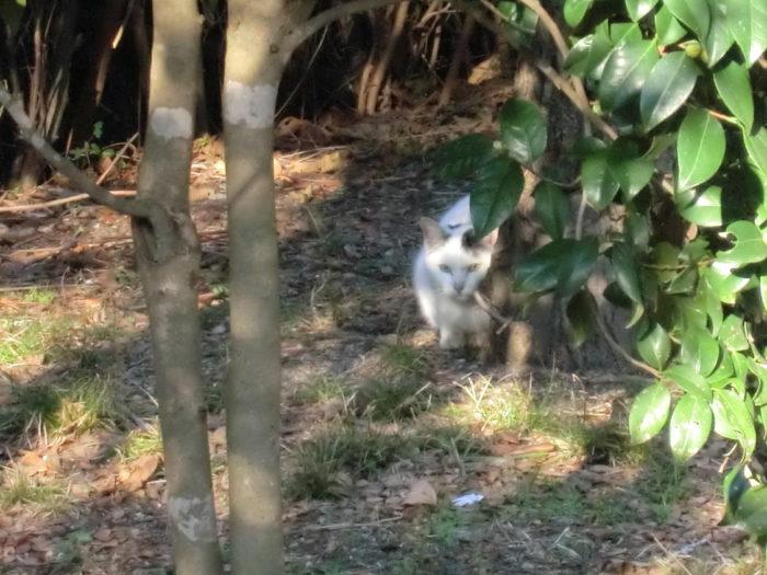 20130112じゃのひれ 目つきの鋭い野良猫