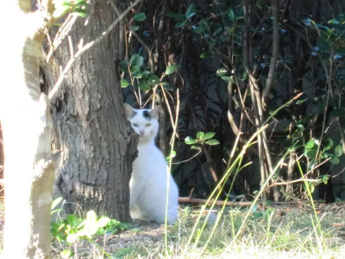 20130112じゃのひれ 木の陰から覗く野良猫