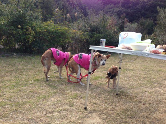 20130112じゃのひれ ペグダウンした犬たち