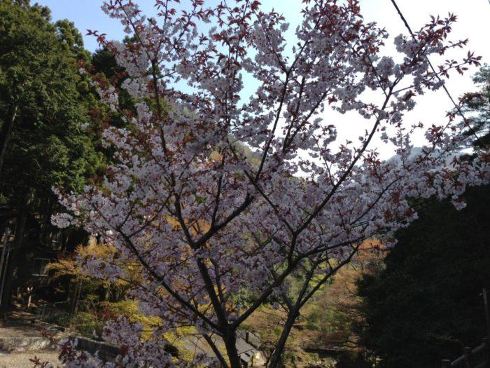 光滝寺キャンプ場 桜