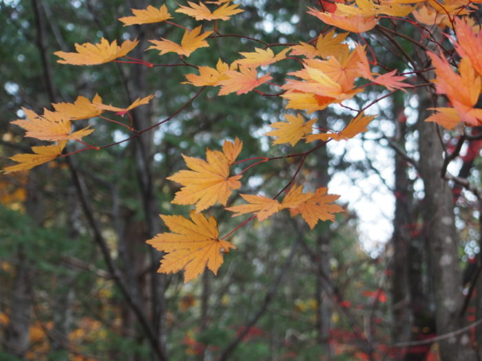 高ソメキャンプ場 黄色い紅葉