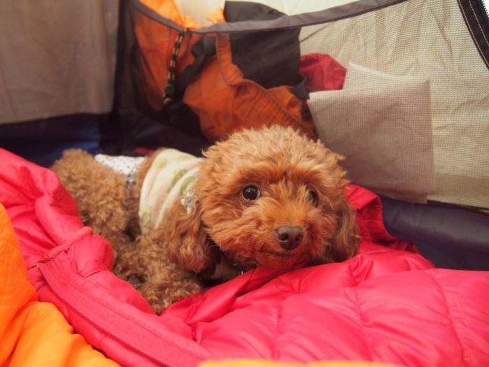 高ソメキャンプ場 寝転がるマオ