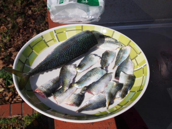 南淡路シーサイドキャンプ場 釣った魚を処理