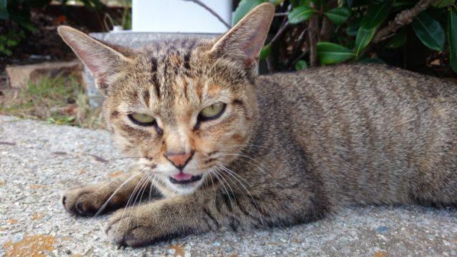 2014-10-23 南淡路シーサイドキャンプ場 目つきの悪い野良猫