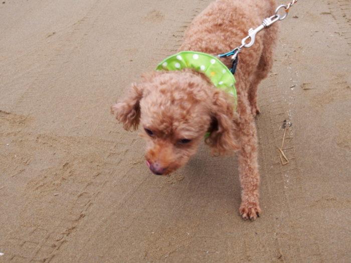 2014-09-15 千里浜なぎさドライブウェイ 散歩するマオ