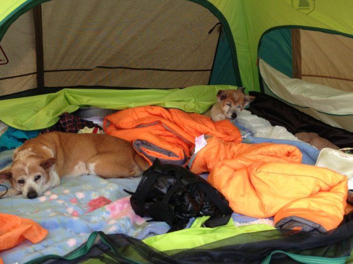 2013-05-01南レクオートキャンプ場 テント内でくつろぐお犬様